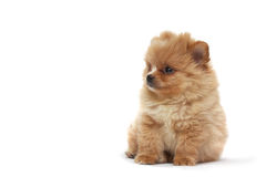 Puppy of a spitz-dog. Puppy of spitz-dog (Dwarf Spitz, a.k.a. Pomeranian). 2 months old Stock Photos