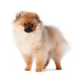Puppy of a spitz-dog. On a white background Stock Photos