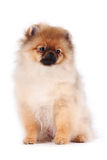Puppy of a spitz-dog. On a white background Stock Images