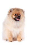 Puppy of a spitz-dog. The puppy of a spitz-dog sits on a white background Royalty Free Stock Images