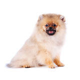 Puppy of a spitz-dog. The puppy of a spitz-dog sits on a white background Royalty Free Stock Photography