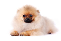 Puppy of a spitz-dog. The puppy of a spitz-dog lies on a white background Royalty Free Stock Images