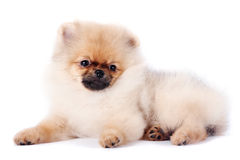 Puppy of a spitz-dog Stock Image