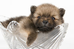 The puppy of the spitz-dog Stock Photo