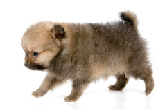 The puppy of the spitz-dog. In studio Royalty Free Stock Photography