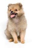 The puppy of the spitz-dog. In studio Stock Images