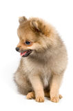 The puppy of the spitz-dog. In studio Stock Photo