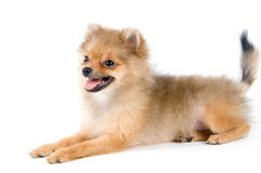 The puppy of the spitz-dog. In studio Royalty Free Stock Photo