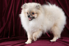 The puppy of the spitz-dog. In studio Stock Photos