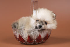 The puppy of the spitz-dog. In studio royalty free stock photos
