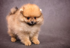 Puppy of the spitz-dog Royalty Free Stock Photography