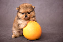 Puppy of the spitz-dog with grapefruit royalty free stock photos