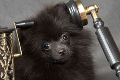 Puppy of a spitz-dog with phone Royalty Free Stock Photo