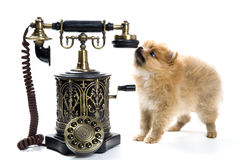 Puppy of a spitz-dog with phone Stock Photography