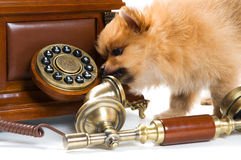 Puppy of a spitz-dog with phone Royalty Free Stock Images