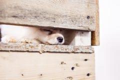 Puppy spitz dog sleeping in wooden box. Stock Photo