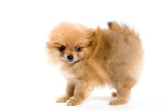 Puppy of the spitz-dog in studio Stock Images