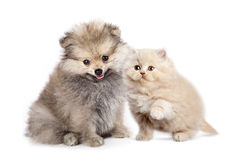 Puppy spitz and kitten Royalty Free Stock Photo