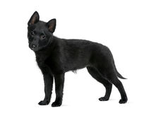 Puppy Spitz standing in front of white background Royalty Free Stock Photos