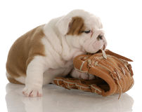 Puppy sports fan Stock Photography