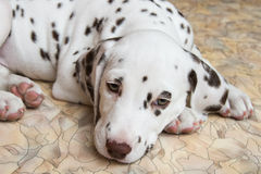 Puppy spotted dogs Stock Photos