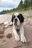 Puppy of a St. Bernard Stock Photography