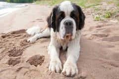 Puppy of a St. Bernard. On a sandy beach Stock Photo