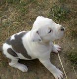 Puppy stafford Royalty-vrije Stock Fotografie