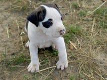 Puppy stafford Royalty-vrije Stock Foto's