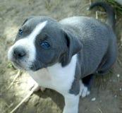 Puppy stafford Stock Foto's