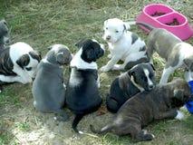 Puppy stafford Stock Afbeeldingen
