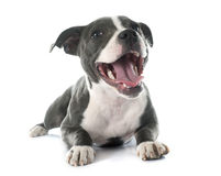 Puppy staffordshire bull terrier Royalty Free Stock Photo