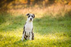 Puppy staffordshire terrier walks in the park in autumn. Puppy staffordshire terrier walks in the park in the autumn morning stock image
