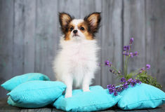 Puppy standing on a cushion Royalty Free Stock Images