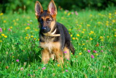Puppy standing in the field Stock Images