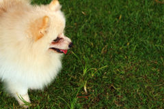 Puppy standing looking out onto the grass. The Puppy standing looking out onto the grass Stock Images