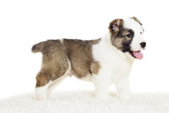 Puppy standing sideways Stock Photography