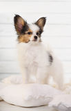Puppy standing on a white pillow Stock Photos