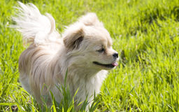 Puppy stands  in grass. Single puppy stands in a green grass lawn with her tail  up  watching,tongue out of her mouth.Picture taken under the sun,the tail of the Stock Images