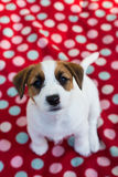 Puppy stare Stock Images