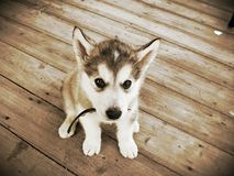 The Puppy Stare Royalty Free Stock Photos