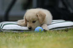 Puppy stares at Earth shaped ball Stock Photos