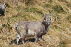 Puppy of steinbock.Alpine Ibex Capra ibex Royalty Free Stock Images