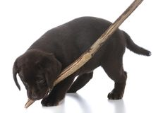 Puppy with a stick. Labrador retreiver puppy with a stick on white background Stock Photography