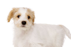 Puppy stood isolated on a white background Royalty Free Stock Images