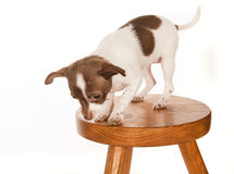 Puppy on a stool Stock Photography