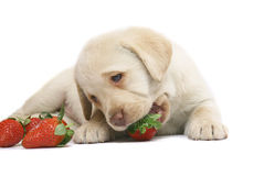 Puppy with a strawberry. Royalty Free Stock Image