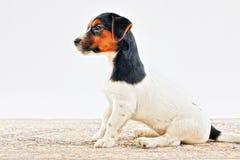 Puppy in studio Stock Images
