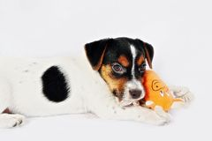 Puppy in studio Royalty Free Stock Image