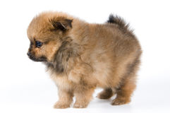 The puppy in studio. The puppy of the spitz-dog in studio Stock Images